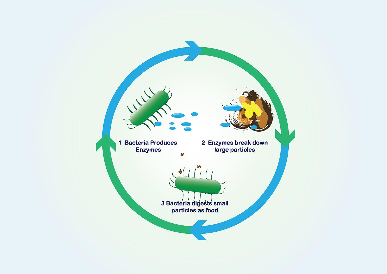 bacteria-cycle